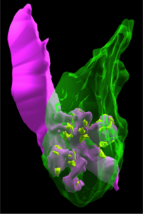 Hippocampus1
